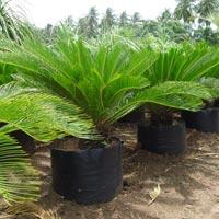 Cycas Revoluta Plant