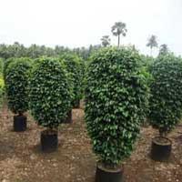 Ficus Benjamina Black