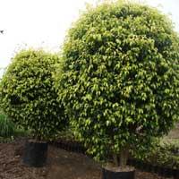 Ficus Prestige