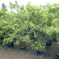 Fruit Plants Nursery India