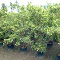 Fruit Plants Nursery India