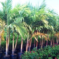 Vichia Palm Gold Plant