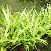 Pendanus Plant