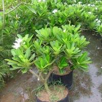 Plumeria Obtusa Plant