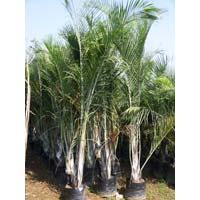 Triangular Palm Plant