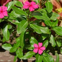 Catharanthus Roseus  Root/Leaves