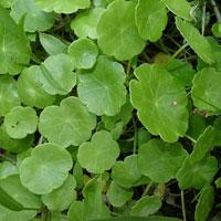 Hydrocotyle Asiatica Medicinal Herbs