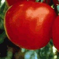 Cal J Tomato Seeds