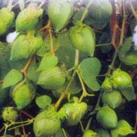 Cotton Seeds (Om Sai BG-II)