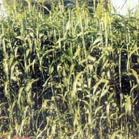 Forage Sorghum Seeds