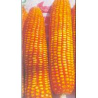 Hybrid Maize Seeds (Karan)