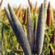 Millet Seeds (Balwan)