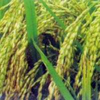 Paddy Seeds (Rounak-IR)