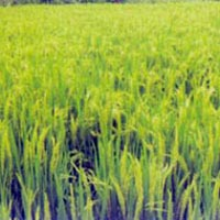 Paddy Seeds (Suman)
