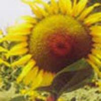 Sunflower Seeds (Suryaprabha)