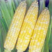 Sweet Corn Mishri Seeds