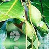 Bahada Plant