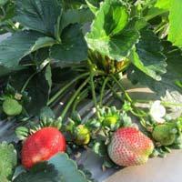 Camarosa Strawberry Plant