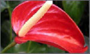 Anthuriums Flowers