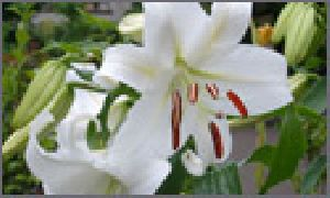 Liliums/Lilys Flowers