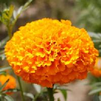African Hawaii Orange Marigold Seeds