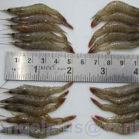 Frozen HOSO Fresh Water Shrimps