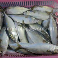 Frozen Indian Mackerel Fishes