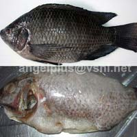 Frozen Tilapia Fishes