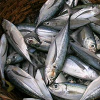 Horse Mackerel Fish
