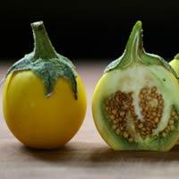 Solanum Surattense Burm
