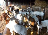 Boer Goat 03