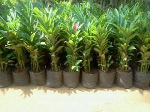 Alpinia Purpurata Plant