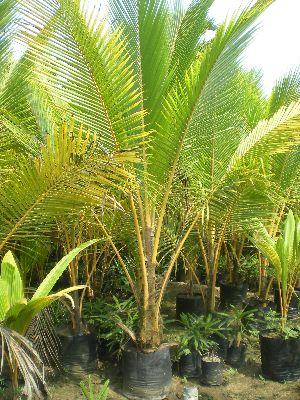 Coconut Silone Dwarf Plant
