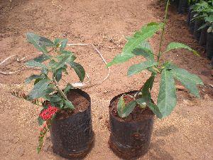 Combretum Coccineum Plant