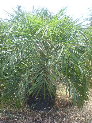 Phoenix Palm Plant