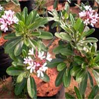 Pink Plumeria Plants