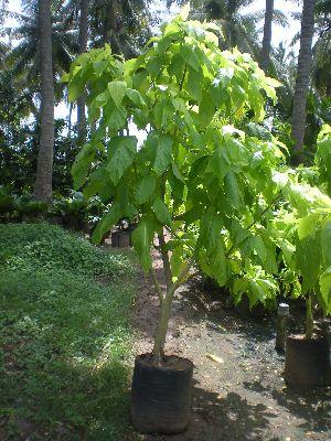 Pisonia Alba Plant