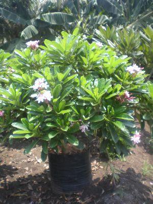 Plumeria Dwarf Pink Plant