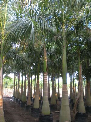 Royal Palm Plant 02