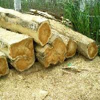 American Teak Wood Logs