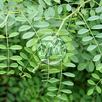 Natural Indigo Leaves