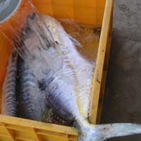 Frozen Fish (Normal Leather Skin)