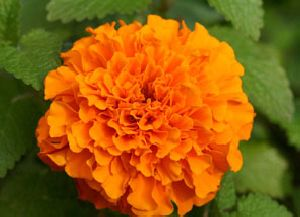 Marigold Soft Extract