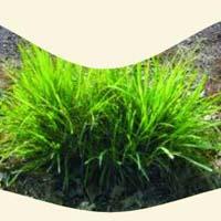 Palmarosa Grass