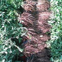 Stevia Plant 02