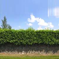 Hedge Plants 02