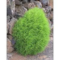 Kochia Plant