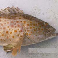 Frozen Spotted Reef Cod Fish