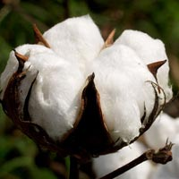 Raw Cotton 02
