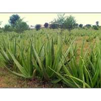 Aloe Vera Leaf 03